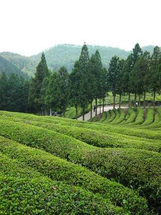 Plantáž zeleného čaje